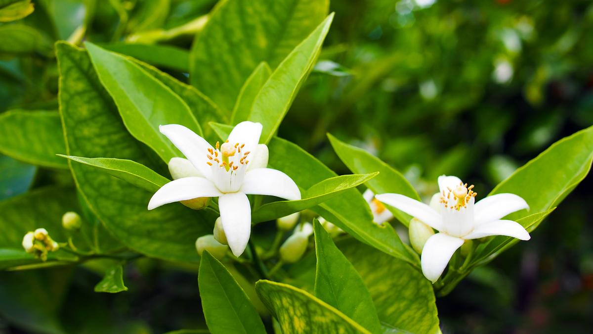 Neroli e fiori d 39 arancio profumo di primavera di for Fiori di primavera