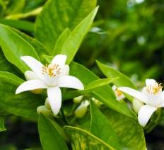 Neroli e fiori d'arancio | Profumo di primavera