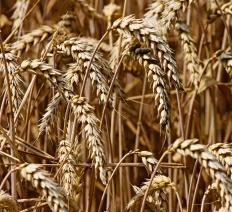 Grani e cereali antichi | Il sapore del grano nei nostri dolci vegani